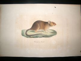 Saint Hilaire & Cuvier C1830 Folio Hand Colored Print. Cercomys of Brazil